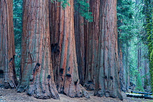The House Group of Giant sequoia (Sequoiadendron giganteum) trees on the Congress Trail, Sequoia National Park, California, USA, September 2014.  -  David Noton