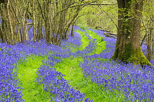 Bluebells (Hyacinthoides non-scripta) flowering in  woodland with track running through,   near Minterne Magna, Dorset, England, UK, April.  -  David Noton