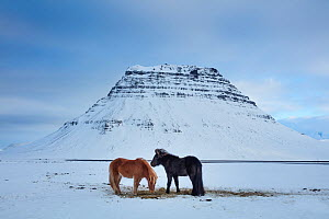Horses grazing in the snow in front of Kirkjufell, Snaefellsnes Peninsula, Iceland, February 2016. - David Noton