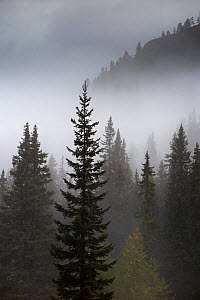 Conifer trees in mist at Alpe de Lerosa, Dolomite Mountains,  Belluno Province, Veneto, Italy, September 2015.  -  David Noton