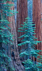 Giant sequoia (Sequoiadendron giganteum) trees in Sequoia National Park, California, USA, September 2014.  -  David Noton