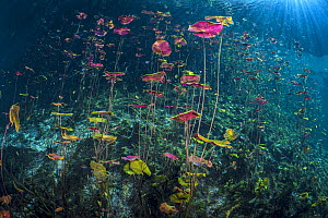 RF - Dense stand of Water lilies (Nymphaea mexicana) growing in a Cenote (a freshwater sink hole) with sun beams. Carwash Cenote, Aktun Ha Cenote, Tulum, Quintana Roo, Yucatan, Mexico. (This image may... - Alex Mustard