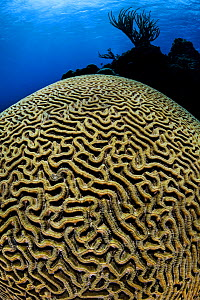 RF - Boulder brain coral (Colpophyllia natans) growing on a coral reef. East End, Grand Cayman, Cayman Islands, British West Indies. Caribbean Sea. (This image may be licensed either as rights managed...  -  Alex Mustard
