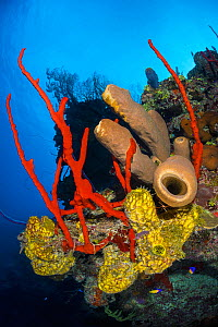 RF - Colourful coral reef wall, with Yellow branching tube sponges (Pseudoceratina crassa), brown tube sponges (Agelas conifera) and red rope sponges (Amphimedon compressa), in front of deepwater sea...  -  Alex Mustard