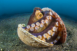 RF - Veined octopus (Amphioctopus marginatus) sheltering in an old clam shell on the sandy seabed. Bitung, North Sulawesi, Indonesia. Lembeh Strait, Molucca Sea. (This image may be licensed either as... - Alex Mustard