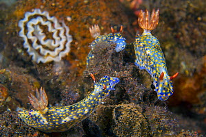 Nudibranchs (Hypselodoris infucata) gather to feed on sponges. Their mouths are extended in this photo. The eggs behind probably belong to them too. The strange out of focus lines in the background co...  -  Alex Mustard
