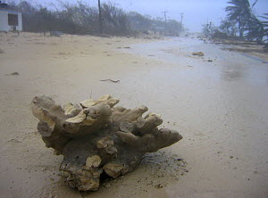 Elkhorn coral (Acropora palmata) uprooted and washed into the middle of the street during Hurricane Ivan. East End, Grand Cayman, Cayman Islands. British West Indies. Caribbean Sea.  -  Alex Mustard