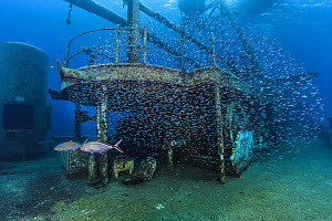 School of Silversides (Atherinidae) are harassed by a pair of predatory Bar jacks (Caranx ruber) on the deck of wreck of the USS Kittiwake. Seven Mile Beach, Grand Cayman, Cayman Islands, British West... - Alex Mustard