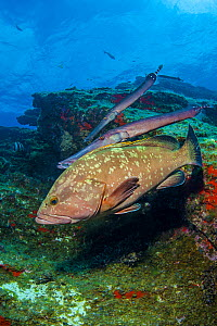 A pair of Atlantic trumpetfish (Aulostomus strigosus) shadow hunting, swimming above a Dusky grouper (Epinephelus marginatus).  Tiny fish are not afraid of the grouper and allow it to swim clos and  t...  -  Alex Mustard