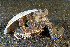 Veined octopus (Amphioctopus marginatus) emerges from its shelter of clam shells onto a sandy seabed. Bitung, North Sulawesi, Indonesia. Lembeh Strait, Molucca Sea. - Alex Mustard