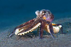 Veined octopus (Amphioctopus marginatus) carrying pieces of shell over the seabed, so it can use them as protective armour if required. Bitung, North Sulawesi, Indonesia. Lembeh Strait, Molucca Sea. - Alex Mustard