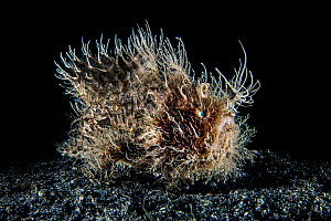 Hairy frogfish (Antennarius striatus) moving over a black sand seabed. Bitung, North Sulawesi, Indonesia. Lembeh Strait, Molucca Sea. - Alex Mustard