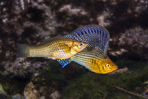 Sailfin molly (Poecilia velifera) displaying his large flag-like dorsal fin while courting a female, in a freshwater cenote (or limestone sinkhole). Garden Of Eden Cenote, Puerto Aventuras, Quintana R...  -  Alex Mustard
