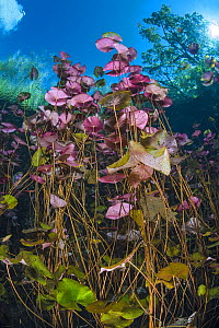 Dense stand of water lilies (Nymphaea mexicana) growing in a cenote (a freshwater sink hole) beneath trees. Carwash Cenote, Aktun Ha Cenote, Tulum, Quintana Roo, Yucatan, Mexico. - Alex Mustard