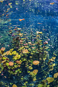 Dense stand of water lilies (Nymphaea mexicana) growing in a cenote (a freshwater sink hole). Carwash Cenote, Aktun Ha Cenote, Tulum, Quintana Roo, Yucatan, Mexico. - Alex Mustard