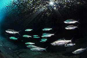 Ttarpon (Megalops atlanticus) school swimming beneath red Mangrove tree roots (Rhizophora mangle) in a freshwater cenote (or limestone sinkhole) beneath a mangrove forest. Casa Cenote, Tulum, Quintana... - Alex Mustard