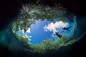 Two snorkellers swim in the water of a Cenote (a freshwater sink hole), while sun light filters down through the leaves of a red mangrove tree (Rhizophora mangle). Casa Cenote, Tulum, Quintana Roo Yuc... - Alex Mustard