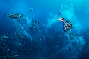 Bohar snappers (Lutjanus bohar) breaking up into smaller groups to spawn close to full moon. The fish swim short arches above the main group as they release clouds of gametes (eggs from the female, sp... - Alex Mustard