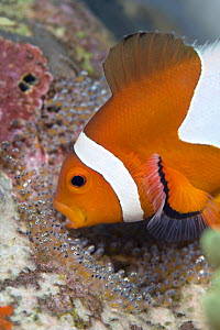 False clown anemonefish (Amphiprion oceallaris) male tending  his eggs, cleaning them with his mouth and aerating them by beating his pectoral fins. Dauin, Dumaguete, Negros, Philippines. Bohol Sea, T... - Alex Mustard