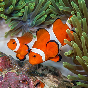 False clown anemonefish (Amphiprion oceallaris) guarding their eggs laid on a coral rock beneath a sea anemonePhilippines. Bohol Sea, Tropical West Pacific Ocean. - Alex Mustard