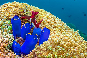 Nudibranchs (Nembrotha chamberlaini) feeding on Tunicates (sea squirt) on a coral reef. Anilao, Batangas, Luzon, Philippines. Verde Island Passages, Tropical West Pacific Ocean.. - Alex Mustard