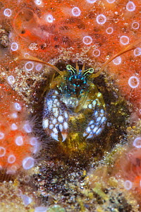 Morgan's coral hermit crab (Paguritta morgani) looks out from its hole, surrounded by an orange sponge with zooanthids. Arborek jetty, Arborek Island, Raja Ampat, West Papua, Indonesia. Dampier Strait... - Alex Mustard