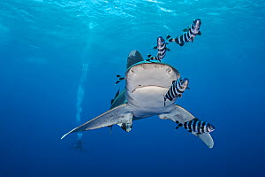 Whitetip shark (Carcharhinus longimanus), accompanied by Pilotfish (Naucrates ductor), swims towards the camera as it cruises beneath the surface of the Red Sea, close to Little Brother Island. The Br... - Alex Mustard