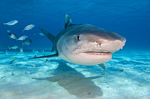 A large female tiger shark (Galeocerdo cuvier) in shallow water. Little Bahama Bank, Bahamas. Tropical West Atlantic Ocean.  -  Alex Mustard