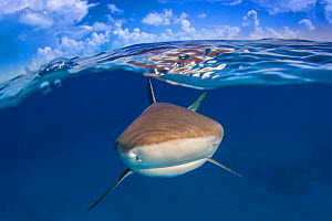 A Caribbean reef shark (Carcharhinus perezi) just below the surface. Split level with blue sky and clouds. Long Island, Bahamas. Bahamas Sea, Tropical West Atlantic Ocean. - Alex Mustard