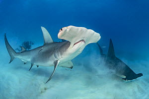 Great hammerhead sharks (Sphyrna mokarran) pair swimmingover seabed, South Bimini, Bahamas. The Bahamas National Shark Sanctuary. Gulf Stream, West Atlantic Ocean.  -  Alex Mustard