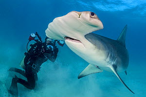 Diver photographing a female Great hammerhead shark (Sphyrna mokarran) in rough, turbid, shallow water. South Bimini, Bahamas. The Bahamas National Shark Sanctuary. Gulf Stream, West Atlantic Ocean.  -  Alex Mustard