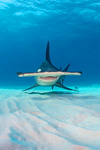 Great hammerhead shark (Sphyrna mokarran) in shallow water. South Bimini, Bahamas. The Bahamas National Shark Sanctuary. Gulf Stream, West Atlantic Ocean.  -  Alex Mustard