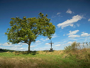 RF - Tree and Crucifix, near Caverne du Dragon Museum, Chemin Des Dames, Aisne, northern France, August 2016. (This image may be licensed either as rights managed or royalty free.)  -  Pascal  Tordeux