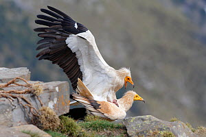 Egyptian vulture (Neophron percnopterus) pair mating on the rocks, Pyrenees, Spain  -  Sylvain Cordier