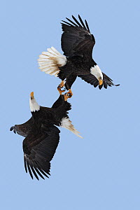 Bald eagle (Haliaeetus leucocephalus) pair flying with claws linked during courtship flight, Homer, Alaska, USA, March. - Sylvain Cordier