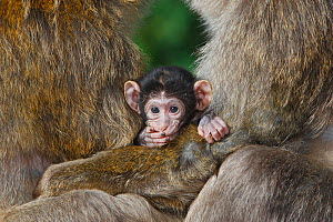 Barbary macaque (Macaca sylvanus), baby between two males (males use the baby to reduce aggression), La Montagne des Singes, Alsace, France, captive  -  Sylvain Cordier