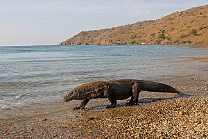 Komodo dragon (Varanus komodoensis) near by the sea, Rinca Island, Indonesia - Sylvain Cordier