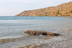 Komodo dragon (Varanus komodoensis) walking in the sea,  Rinca Island, Indonesia - Sylvain Cordier