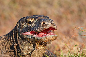Komodo dragon (Varanus komodoensis) , close up,   Rinca Island, Indonesia. - Sylvain Cordier