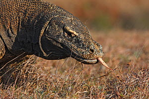 Komodo dragon (Varanus komodoensis) with tongue out,  Rinca Island,  Indonesia  -  Sylvain Cordier