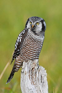 Northern hawk owl (Surnia ulula) perched,  Nome, Alaska, USA, March. - Sylvain Cordier