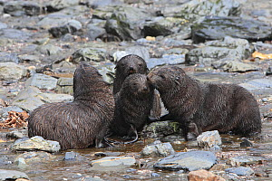 Antarctic Fur Seal (Arctocephalus gazella), pups playing, Fortuna Bay, South Georgia.  -  Sylvain Cordier