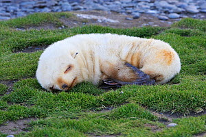 Antarctic Fur Seal (Arctocephalus gazella) pup sleeping, Fortuna Bay, South Georgia.  -  Sylvain Cordier