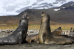 Southern elephant seal (Mirounga leonina), fight between two males, Saint Andrew, South Georgia. - Sylvain Cordier