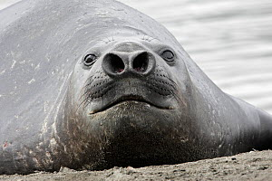 Southern elephant seal (Mirounga leonina), close up of young male with nostrils widened, Saint Andrew, South Georgia.  -  Sylvain Cordier
