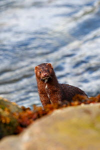 American mink (Mustela vison),near the water in the Khuzemateen Grizzly Bear Sanctuary, British Columbia, Canada  -  Sylvain Cordier