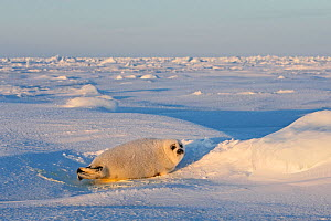 Harp seal (Phoca groenlandica), baby on ice, Magdalen Islands, Canada - Sylvain Cordier