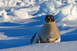 Harp seal (Phoca groenlandica), adult female on the ice,  Magdalen Islands, Canada - Sylvain Cordier