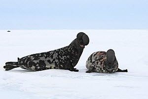 Hooded seals (Cystophora cristata), males with inflated nasal sac during courtship display, Magdalen Islands, Canada  -  Sylvain Cordier