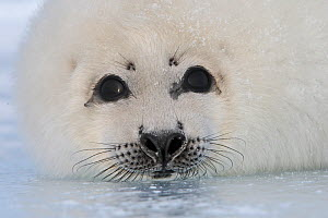 Harp seal (Phoca groenlandica), pup on ice, Magdalen Islands, Canada - Sylvain Cordier